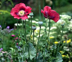 natural opium derivatives